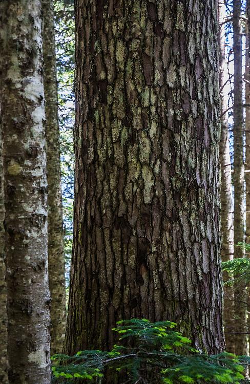 Sitka Spruce tree trunk and bark pattern, McClellan Butte Trail, Washington Cascades, USA.