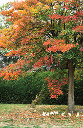 Hawthorn - Crataegus persimilis 'Prunifolia' in autumn colour with colchicums planted around the base at Great Dixter