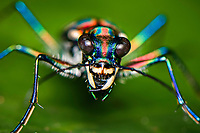 Blue-spotted or Golden-spotted tiger beetle (Cicindela aurulenta), Lamma Island, Hong Kong, China. 金斑虎甲,南丫岛,中国香港。