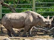 15 MAY 2019 - DES MOINES, IOWA: An eastern black rhinoceros in the outdoor display at Blank Park Zoo in Des Moines. The eastern black rhinoceros (Diceros bicornis michaeli) is also known as the East African black rhinoceros. It is a subspecies of the black rhinoceros. Its numbers are very low due to poaching for its horn and it is listed as critically endangered. There are fewer than 1,000 left in the wild.        PHOTO BY JACK KURTZ