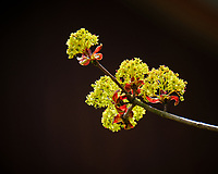 Maple tree flowers. Image taken with a Fuji X-T2 camera and 100-400 mm OIS lens (ISO 200, 400 mm, f/6.4, 1/90 sec).