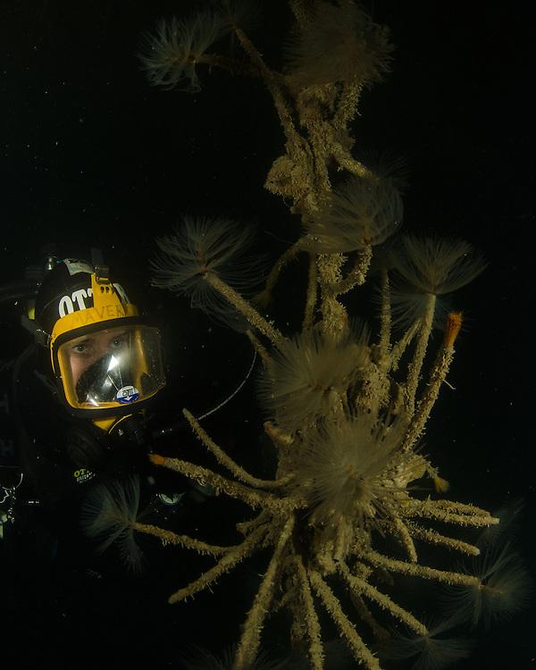 Mediterranean fanworm, Sabella spallanzanii,