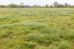 Scattered clusters of Silveus' dropseed grass in the Daphne Prairie, a remnant of the Blackland Prairie, Mount Vernon, Texas, USA.