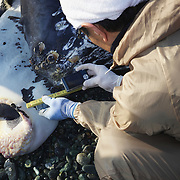 Researcher measuring tubercles on humpback whale calf (Megaptera novaeangliae) that washed ashore on 3 January 2012 in Odawara, Japan. Measured 6.87 meters long and was male. Cause of death unknown. This humpback whale calf is the third smallest one recorded to date that has stranded or washed ashore in Japan. It is the third deceased calf to have been found in the 2011-2012 breeding and calving season. Members of the science community recording measurements for Japan's cetacean stranding database.