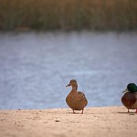 USA, California, Carmel by the Sea. Ducks at Carmel River State Beach.