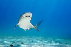 Tiger Shark, Galeocerdo cuvier, West End, Grand Bahama, Atlantic Ocean