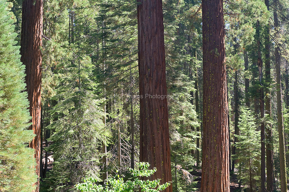 Looking through a grove of Sequoia trees. Yosemite National Park, CA.