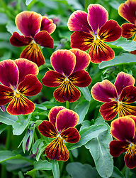 Viola cornuta 'Aztec'