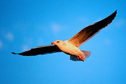 western gull, sub-adult.Larus occidentalis.San Diego, California.
