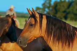 Cavalos ao campo no pôr do sol. FOTO: Eduardo Rocha/Preview.com