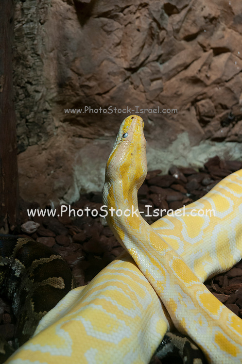 Close-up of an albino Indian python (Python molurus) at Haus Des Meeres, the Aquarium and terrarium building, Esterhazy Park, Mariahilf, Vienna, Austria