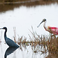 A spoondbill and a reddish egret in Merritt Island National Wildlife Refuge, on the Space Coast, Florida. Photo by William Drumm, 2013.