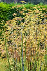 Stipa gigantea and fennel seedheads - Foeniculum vulgare