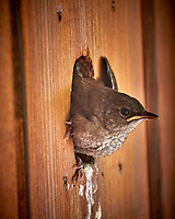 House Wren Chick Looking Out of the Nest at My Front Door.. Image taken with a Fuji X-T2 camera and 100-400 mm OIS telephoto zoom lens.