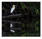 Capped Heron at the banks of Cristalino River, southern Amazon, Brazil.  Nikon D4, 200-400mm + TC17 @ 650mm, f6.7, 1/1000sec, ISO2000, Manual modus