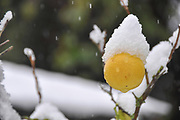 lemon fruit on a tree is covered by snow in a garden photographed in Jerusalem, Israel
