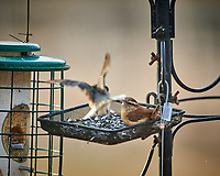 Dark-eyed Junco and Carolina Wren fighting over sunflower seeds. Image taken with a Nikon D850 camera and 500 mm f/4 VR telephoto lens.