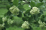 Common Whitebeam Sorbus aria Rosaceae Height to 25m <br /> Deciduous tree or spreading shrub. Bark Smooth and grey. Branches Spreading; twigs brown above, green below. Buds ovoid, green, tipped with hairs. Leaves Oval, to 12cm long, toothed, very hairy below. Reproductive parts Flowers white, clustered. Fruits ovoid, to 1.5cm long, red. Status Native in S mainly on chalky soils; also widely planted in towns.
