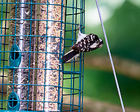Downy Woodpecker. Image taken with a Nikon D810a camera and 600 mm f/4 VR lens.