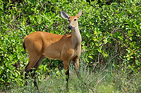 Marsh Deer (Blastocerus dichotomus ) - female -  listed as  a vulnerable species. The Pantanal, Brazil