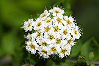 Close-up of flowers in Beiyue Hengshan, Hunyuan County, Shanxi China. 花朵特写,北岳恒山,浑源县,中国山西。