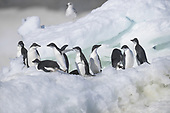 Leopard seals v Adelie penguins