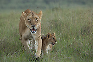 Lioness takes her cub to the meaty hidden spoils from the hunt earlier in the day. Magic of Maasai Mara Kenya.