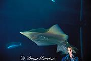 a visitor to the Monterey Bay Aquarium, observes a  big skate, Raja binoculata (c), Monterey, California MR 285