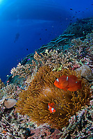 Dive Boat, Diver, and Spinecheek Anemonefishes