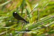 06014-003.06 Ebony Jewelwing Damselfly (Calopteryx maculata) female in stream, MO