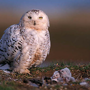 Snowy Owl, (Nyctea scandiaca) Adult at nest with chicks. Barrow, Alaska.