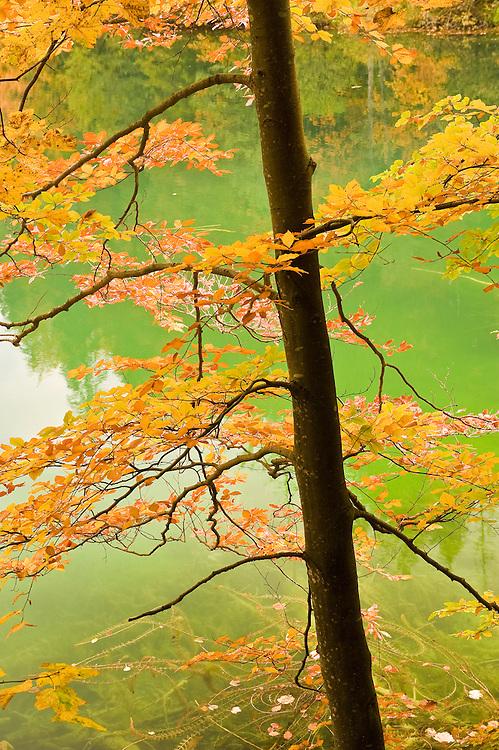 Beech tree (Fagus sylvatica) in autumn by the Proscansko lake, Upper lakes, Plitvice National Park, Croatia