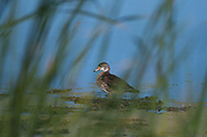 Peering at a male wood duck in eclipse plumage through the reeds at Montezuma National Wildlife Refuge in the Finger Lakes region of Upstate, New York.