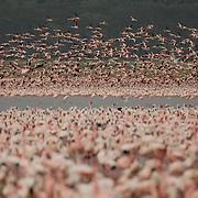 A huge colony of flamingos at the lake Nakuru in Kenya.