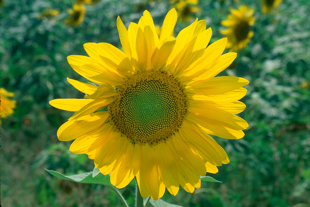 Sunflower, commercial agricultural field, The Country of Georgia