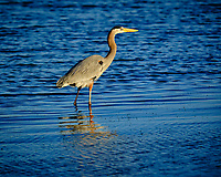 Great Blue Heron at Fort De Soto park. Image taken with a Fuji X-H1 camera and 200 mm f/2 OIS lens + 1.4x teleconverter (ISO 200, 280 mm, f/4, 1/1500 sec).