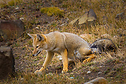 "Grey fox in Chile's Torres del Paine national park. The South American gray fox (Lycalopex griseus), also known as the Patagonian fox, the chilla, or the grey zorro, is a species of zorro, the ""false"" foxes. The South American gray fox is found in the Southern Cone of South America, particularly in Argentina and Chile. Its range comprises a stripe, both sides of the Andes Mountain Range between parallels 17ºS (northernmost Chile) and 54ºS (Tierra del Fuego).<br /> <br /> In Argentina, this species inhabits the western semiarid region of the country, from the Andean spurs (ca. 69ºW) to meridian 66ºW. South from the Río Grande, the distribution of the fox widens reaching the Atlantic coast. In Chile, it is present throughout the country. Its presence in Peru has been mentioned; to date, however, there has been no confirmation of it. The South American gray fox was introduced to the Falkland Islands in the late 1920s early 1930s and is still present in quite large numbers on Beaver and Weddell Islands plus several smaller islands.<br /> <br /> The South American gray fox occurs in a variety of habitats, from the warm, arid scrublands of the Argentine Monte and the cold, arid Patagonian steppe to the forest of southernmost Chile."