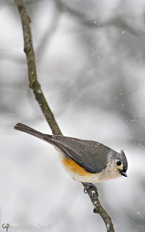 The tufted titmouse (Baeolophus bicolor) is a small, common songbird found throughout the east coast of the United States, to southern Ontario, Canada and westward to the plains of central Texas, Oklahoma, Nebraska, Kansas, and Iowa.  They are 5.9–6.7 inches long, weigh 0.6–0.9 ounces and have a lifespan of 2–13 years.  The highest population densities of tufted titmice occur along the Ohio, Cumberland, Arkansas, and Mississippi rivers where they prefer deciduous and mixed-deciduous forests, especially those with a dense canopy or tall vegetation. Tufted titmice feed on insects and seeds. This tufted titmouse is waiting out a winter blizzard in Belmont, Massachusetts.