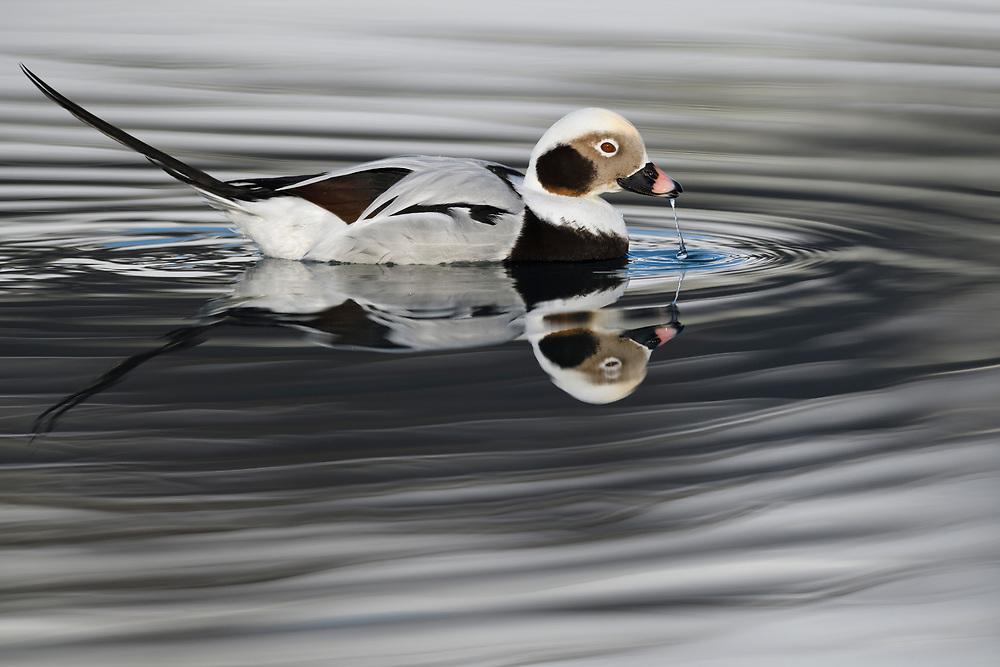 Long-tailed duck or Old-squaw, male, Clangula hyemalis, Varanger Peninsula, Norway, Scandinavia