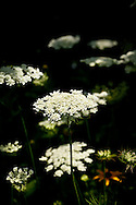 Queen Anne's Lace blooms floating like clouds in my garden.