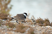 Spur-winged plover (or lapwing, Vanellus spinosus) with chick. This bird inhabits wetlands and coastal areas in northern Africa and the eastern Mediterranean region. It feeds on small invertebrates. Photographed in Israel, June