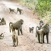 A troops of baboons on a dirt road at Lake Manyara National Park in northern Tanzania.