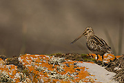 Magellanic Snipe (Gallinago magellanica magellanica)<br /> Steeple Jason. FALKLAND ISLANDS.<br /> RANGE & HABITAT: The occur in varied habitats like wet moorland with rank grass or rushes, dry ground with diddle-dee cover, replanted slopes, open tussock, paddocks and beaches with rotted kelp. Occur through the islands.<br /> In the past they were considered game birds and heavily hunted on the islands.<br /> <br /> The Jasons (Grand and Steeple) are a chain of islands 40 miles (64km) north and west off West Falkland towards Patagonia. Steeple is 6 by 1 mile (10Km by 1.6km) in size. From the coast the land rises steeply to a rocky ridge running along the length. <br /> This island has the largest Black-browed Albatross colony in the world with 113,000. The island is owned by WCS (Wildlife Conservation Society)