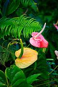 Anthurium, Hilo, Island of Hawaii