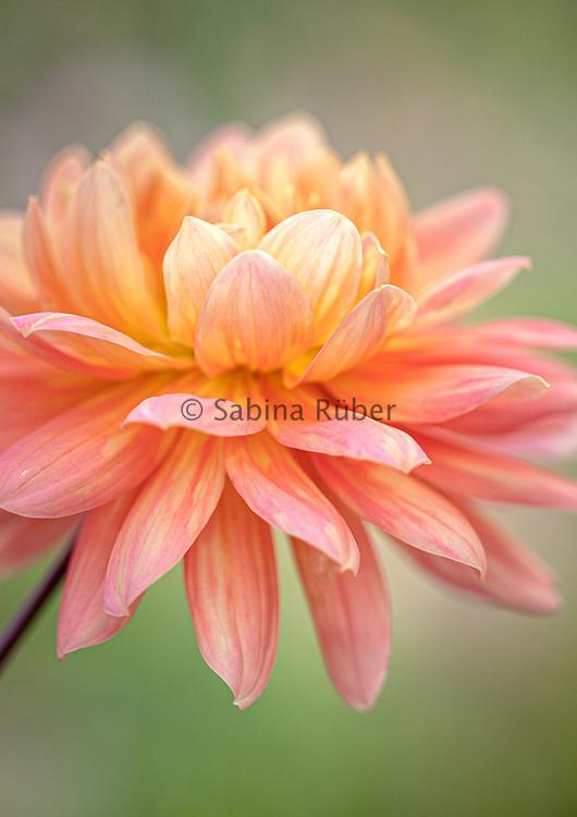 Dahlia 'Yvonne' - waterlily dahlia