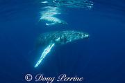 humpback whale mother and young calf, Megaptera novaeangliae, near Nomuka Island, Ha'apai group, Kingdom of Tonga, South Pacific