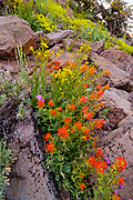Paintbrush, Sulpher Flower and Mixed Wildflowers,<br /> Humboldt-Toiyabe National Forest,<br /> Mono County, California