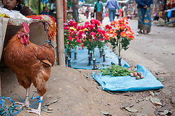Rooster trapped for traditional ceremony at Dakshinkali Temple