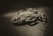 Mummified dead frog in sepia. A frog is any member of a diverse and largely carnivorous group of short-bodied, tailless amphibians composing the order Anura
