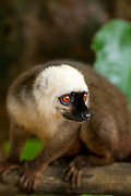 A male White Fronted Brown Lemur on the island reserve Nosy Mangabe, Madagascar